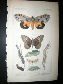 Cuvier C1835 Antique Hand Col Print. Nactua, Erebus, Caterpillar 100 Moths